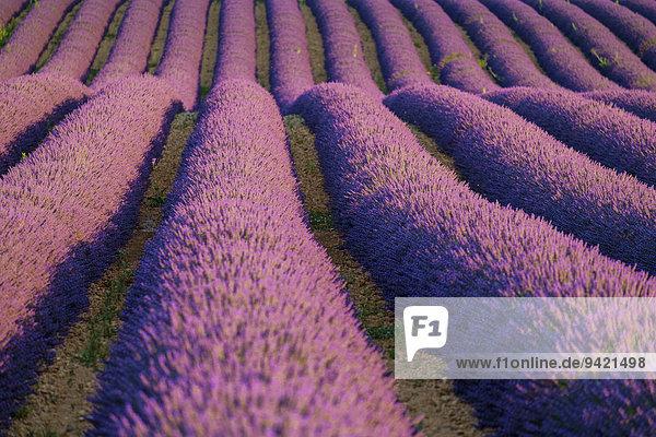 Reihen von blühendem lila Lavendel  Plateau de Valensole  Provence-Alpes-Côte d'Azur  Frankreich