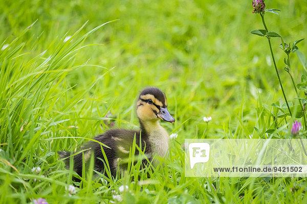 Zehn Tage altes Entenküken im Gras  La Creuse  Limousin  Frankreich