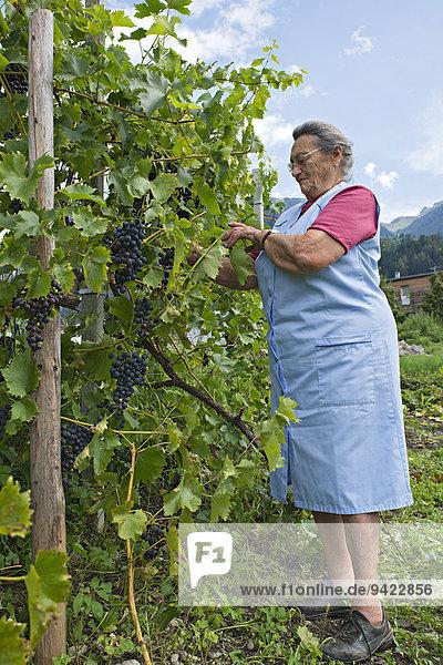 Farmer working on the farm  tying up wine  Kreutner family farm  Schwaz District  Tyrol  Austria Family