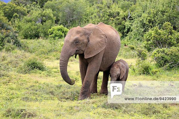 Afrikanischer Elefant  (Loxodonta africana)  Muttertier mit Jungtier auf Nahrungssuche  Addo Elephant Nationalpark  Ostkap  Südafrika