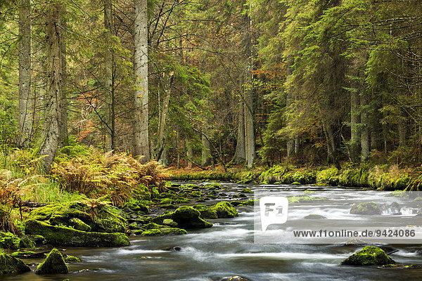 Großer Regen river  autumn  Bavarian Forest National Park  Bavaria  Germany