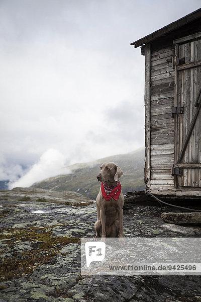 Weimaraner Jagdhund mit rotem Halstuch vor einer alten Holzhütte im Gebirge  Litledalen  Møre og Romsdal  Norwegen