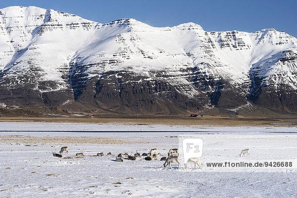 Rentiere (Rangifer tarandus) vor Bergen im Winter  Ostfjorde  Island