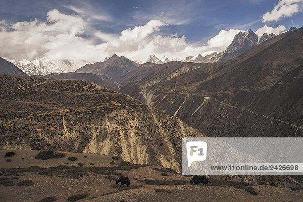 Yaks grasen vor Bergpanorama  Gokyo-Tal  Khumbu  Solukhumbu  Mount Everest Region  Nepal