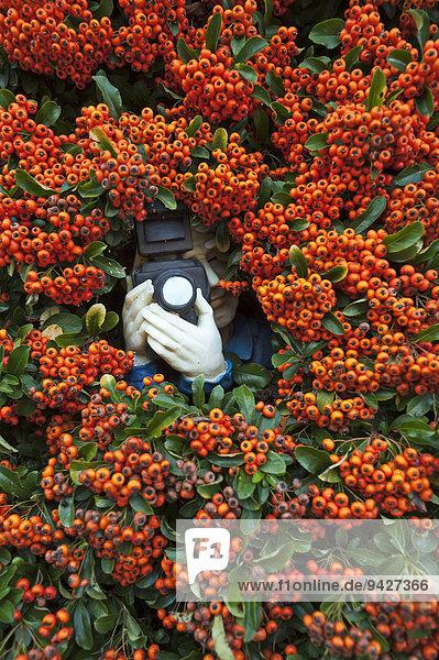 Paparazzi-Figur mit einer Kamera in Feuerdorn (Pyracantha)  Bayern  Deutschland