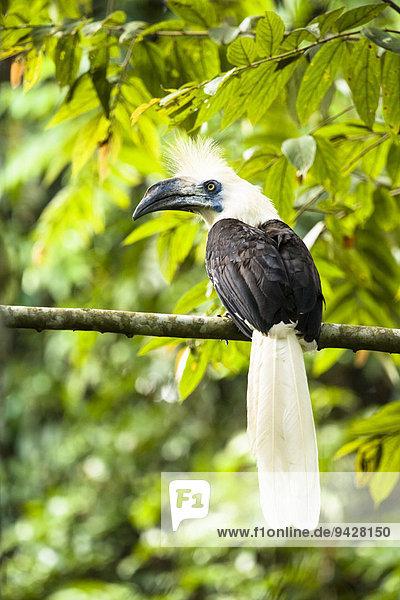 Langschopf-Hornvogel (Berenicornis comatus)  Männchen  Kinabatangan  Sabah  Borneo  Malaysia