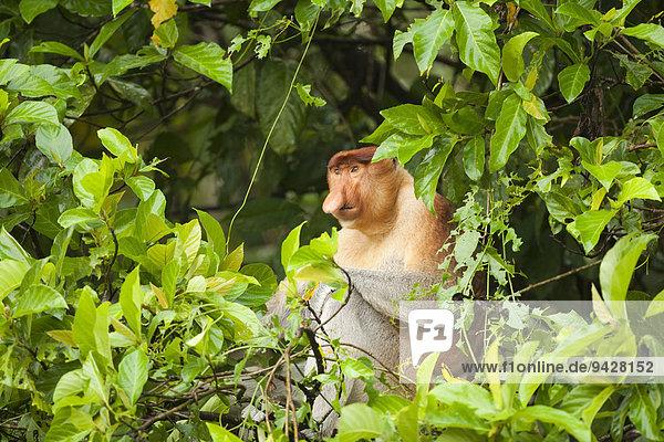 Nasenaffe (Nasalis larvatus) sitzt in einem Baum  Kinabatangan  Sabah  Borneo  Malaysia