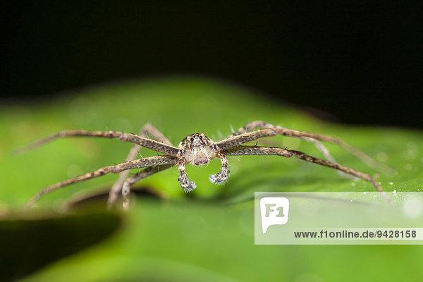 Jagdspinne  unbekannte Art  adultes Männchen auf Blatt  Kinabatangan  Sabah  Borneo  Malaysia