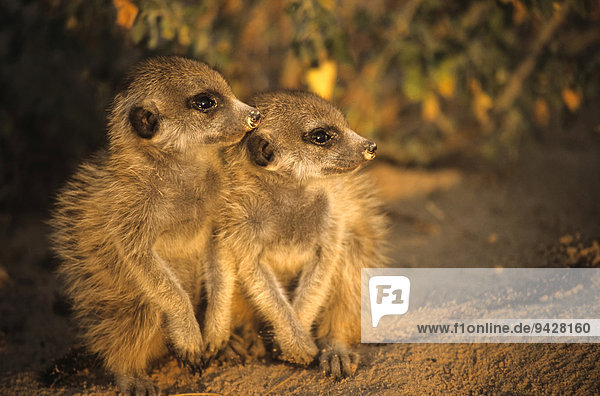 Junge Erdmännchen (Suricata suricatta) sitzen nebeneinander am Bau im Abendlicht  Kalahari  Provinz Nordkap  Südafrika