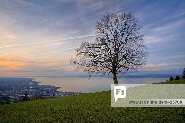 Tree over Lake Constance in the evening light  Rorschacherberg  Lake Constance  Switzerland  Europe