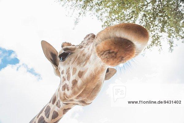 Nahaufnahme einer Giraffe im niedrigen Winkel Nahaufnahme einer Giraffe im niedrigen Winkel