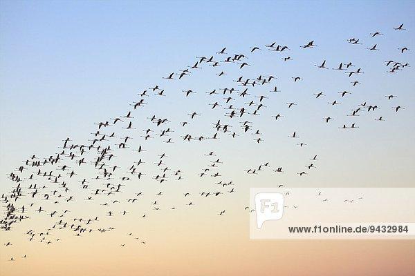 Flamingoschwarm (Phoenicopterus roseus) im Morgengrauen  Putzu Idu  Sardinien  Italien Flamingoschwarm (Phoenicopterus roseus) im Morgengrauen, Putzu Idu, Sardinien, Italien