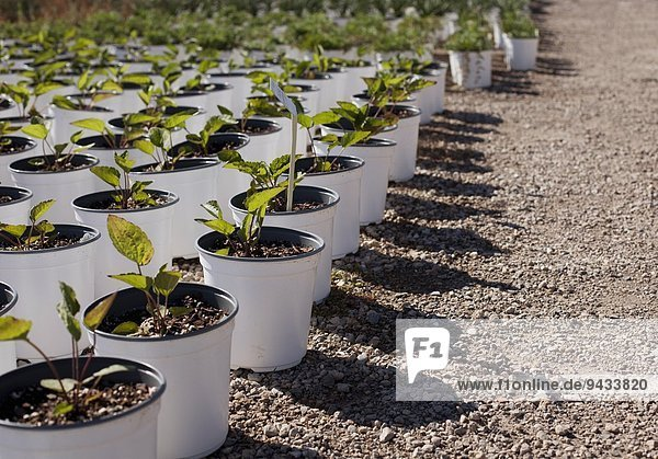 Rows of potted plants at plant nursery