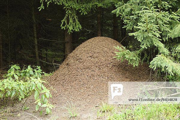 Ameisenhügel von Waldameisen  Oberpfalz  Bayern  Deutschland