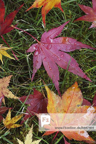Laubblätter im Herbst  USA  Nordamerika
