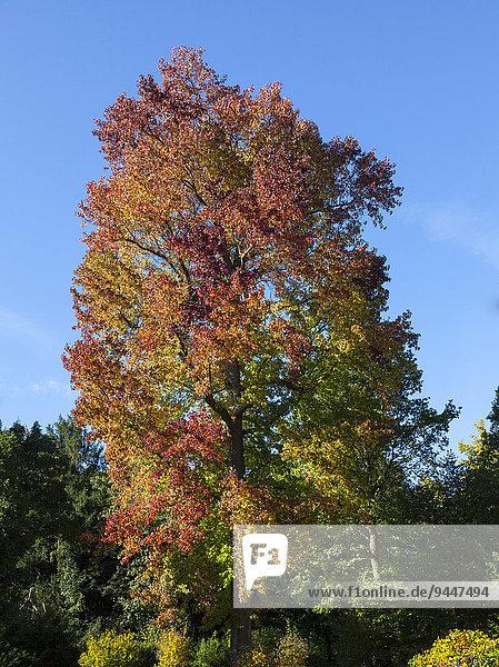 Amerikanischer Amberbaum (Liquidambar styraciflua)
