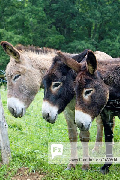 Side view of 3 donkeys lined up together and staggered side by side in the field of Dordogne in France  Europe