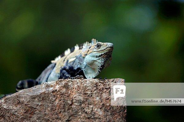 sonnenbaden sonnen Großstadt Mexiko Maya Leguan Uxmal Halbinsel Yucatan