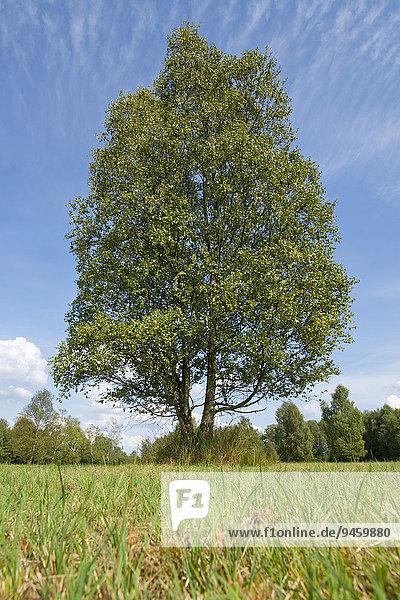 Einzelne Moorbirke (Betula pubescens)  Niedersachsen  Deutschland  Europa