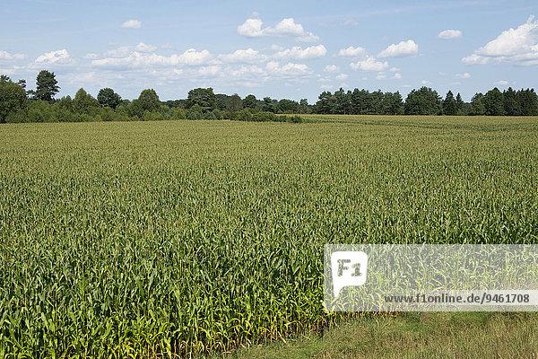 Maisfeld  Mais (Zea mays)  Niedersachsen  Deutschland  Europa
