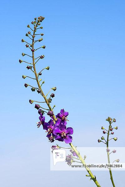 Purpur-Königskerze (Verbascum phoeniceum)  Naturschutzgebiet Horky  Jihomoravský kraj  Südmährische Region  Tschechien  Europa