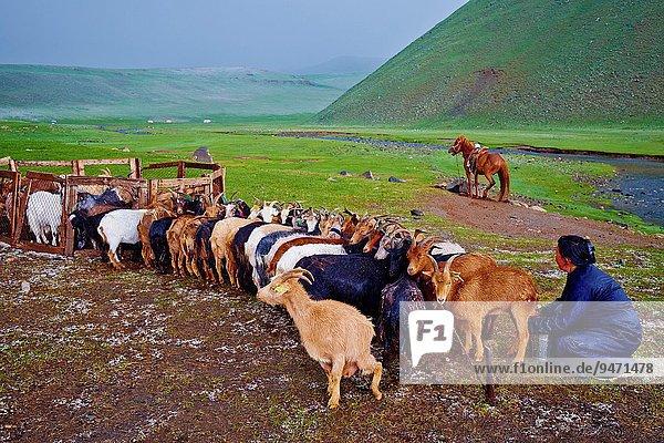 Ziege Capra aegagrus hircus unterhalb Milch Mongolei Schnee