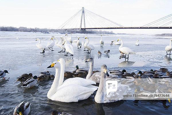 Schwäne und Enten im Fluss  Winter  Hokkaido  Japan  Asien