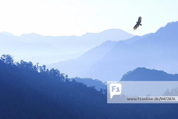 Schlangenweihe (Spilornis cheela) fliegt im Morgennebel über die Berge  Alishan Berg  Chiayi  Taiwan  Asien