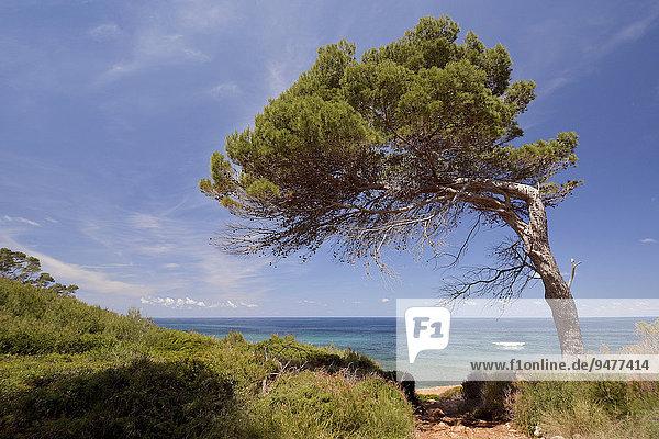 Windgeformte Kiefer am Strand von Punta de s'Aguila  Mallorca  Balearen  Spanien  Europa