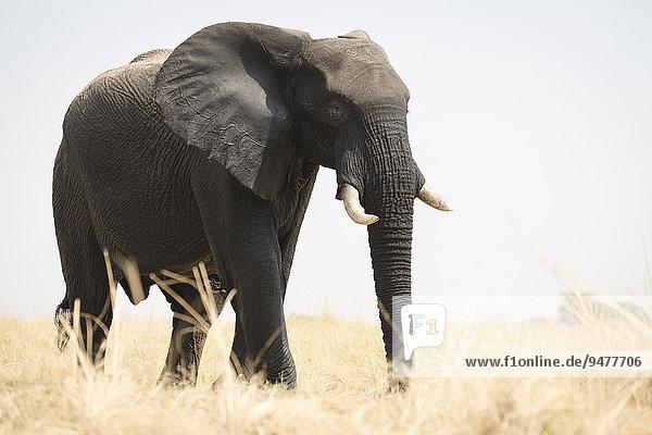 Afrikanischer Elefant (Loxodonta africana) im Gegenlicht  Chobe-Nationalpark  Botswana  Afrika