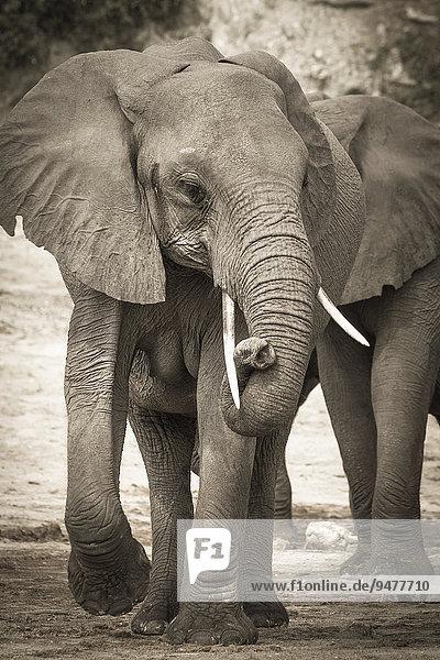 Afrikanischer Elefant (Loxodonta africana) mit verschlungenem Rüssel  Chobe-Nationalpark  Botswana  Afrika