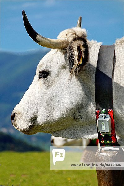 Gascon cow equipped with a GPS collar  Ariège  Midi-Pyrenées  France