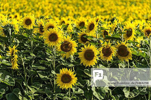 Sonnenblumenfeld  Altomünster  Oberbayern  Bayern  Deutschland  Europa