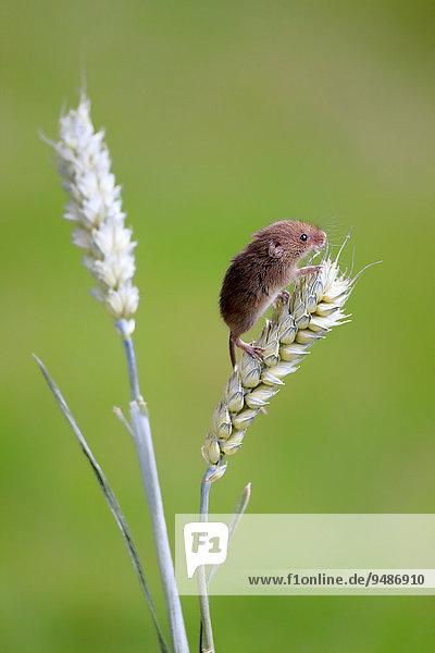 Zwergmaus (Micromys minutus)  adult  auf Weizenähre  Surrey  England  Großbritannien  Europa