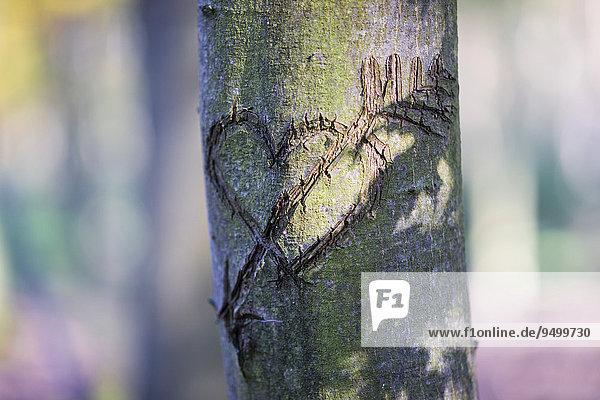 Herz als Liebeserklärung  in einen Baum geschnitzt  Grunewald  Berlin  Deutschland  Europa