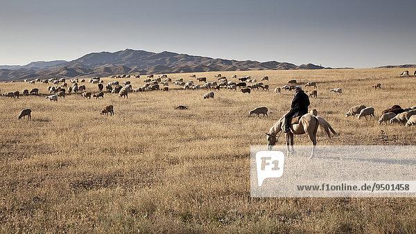 Kasache  Hirte auf Pferd bei seiner Schafherde  Hügel- und Steppenlandschaft  bei Almaty  Kasachstan  Asien