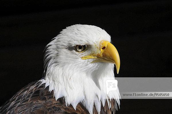 Weißkopfseeadler (Haliaeetus leucocephalus)  Vorkommen in Nordamerika  captive  Deutschland  Europa