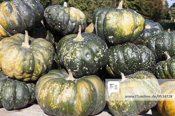 Muscat de Provence  nutmeg pumpkins  Butternut squashes (Cucurbita moschata)