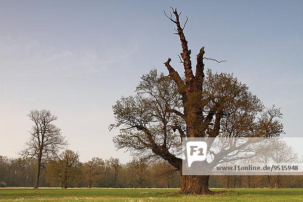 650-year-old oak on the floodplain meadows in early spring  Middle Elbe Biosphere Reserve  Dessau-Rosslau  Saxony-Anhalt  Germany  Europe
