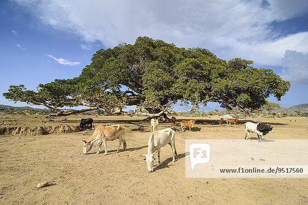 Animals grazing in front of a Giant Sycamore tree  near Segeneyti  Eritrea  Africa