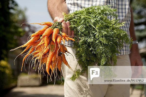 Ein Mann hält einen Bund selbst gezogener Karotten  Hampshire  England  Großbritannien  Europa