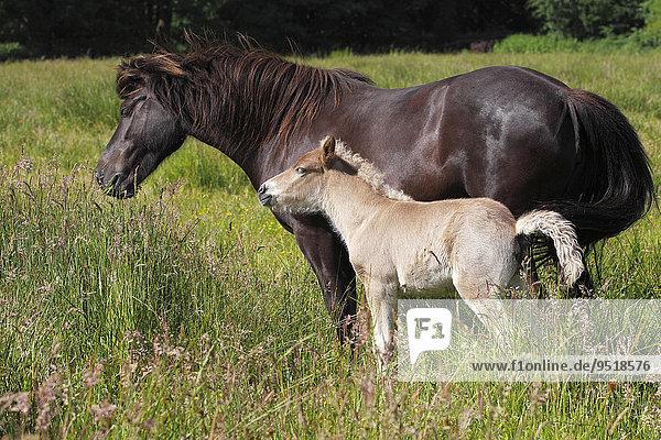 Stute mit Fohlen  Islandpony  Island-Pony  Islandpferd