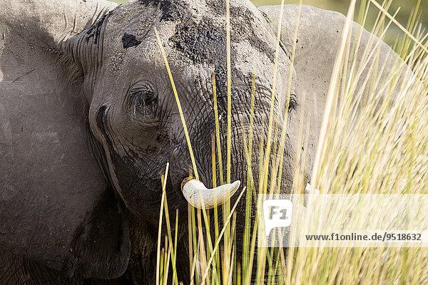 Afrikanischer Elefant (Loxodonta africana) steht im Schilf  Nkasa-Lupala-Nationalpark  Caprivi  Namibia  Afrika Afrikanischer Elefant (Loxodonta africana) steht im Schilf, Nkasa-Lupala-Nationalpark, Caprivi, Namibia, Afrika