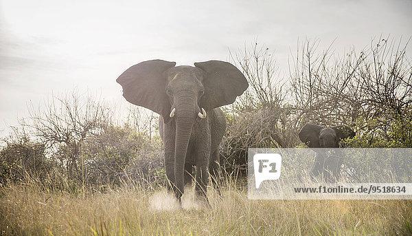Afrikanische Elefanten (Loxodonta africana) Muttertier mit Jungtier  Nkasa-Lupala-Nationalpark  Caprivi  Namibia  Afrika