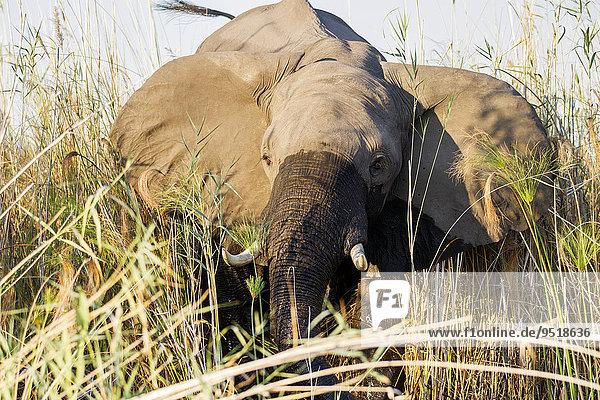 Afrikanischer Elefant (Loxodonta africana)  steht im Schilf  Fluss Okavango  Caprivi  Namibia  Afrika Afrikanischer Elefant (Loxodonta africana), steht im Schilf, Fluss Okavango, Caprivi, Namibia, Afrika