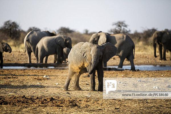 Afrikanischer Elefant (Loxodonta africana) Jungtier beim Staubbad  hinten trinken Elefanten an einer Wasserstelle  Etosha-Nationalpark  Namibia  Afrika