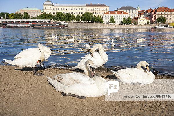 Prag Hauptstadt Fluss Tschechische Republik Tschechien Moldau Schwan