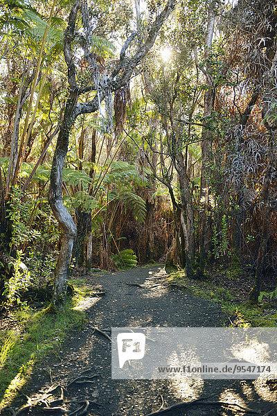 USA  Hawaii  Big Island  Vulkane Nationalpark  Wanderweg durch den Wald bei Kilauea Iki