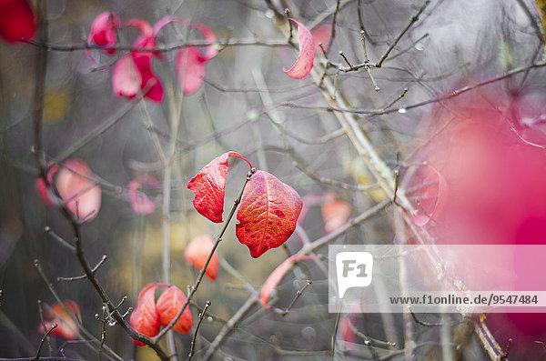 Rote Herbstblätter an einem Strauch