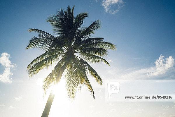 Malediven  Ari Atoll  Blick auf die Palme vor dem sonnigen Himmel